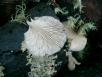 Oyster Mushroom (Pleurotus Ostreatus)